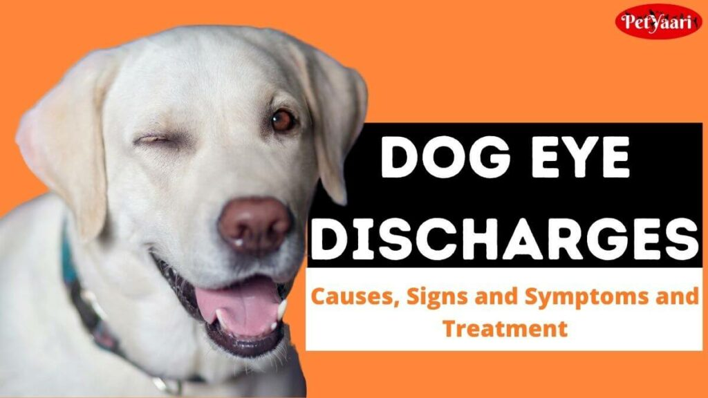 Dog Eye Discharges, Causes, Signs and Symptoms and Treatment