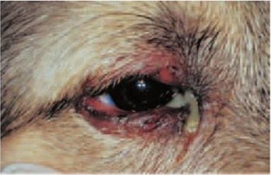 eye discharges in canine distemper